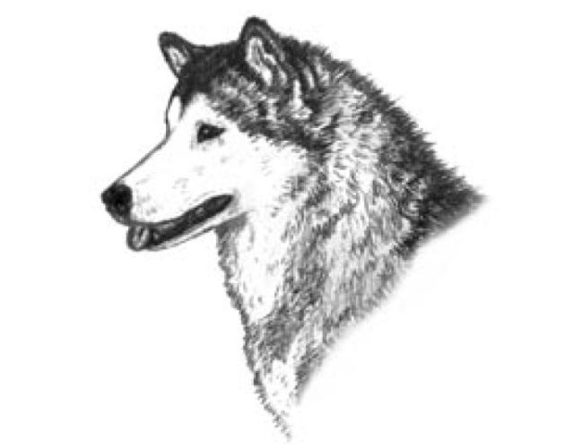 Иллюстрированный стандарт аляскинского маламута